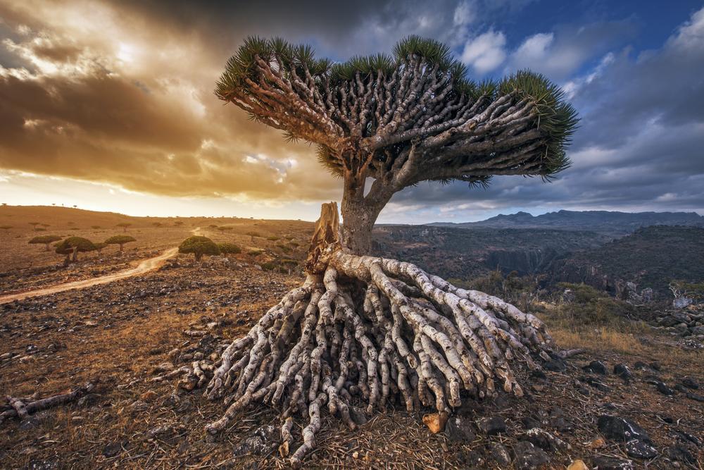 Драконовые деревья острова Сокотра
