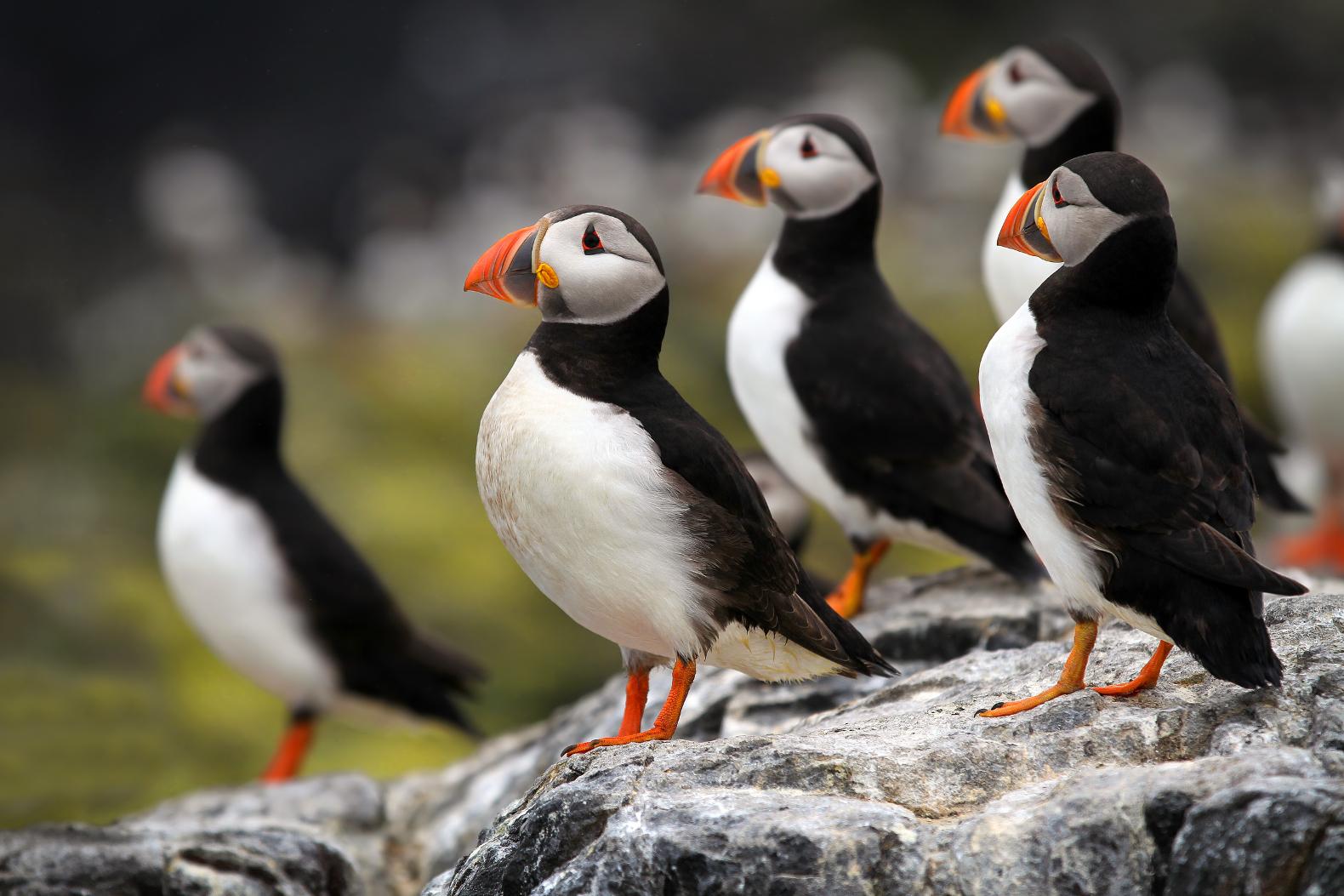 Исландия - одна из немногочисленных стран, где турист может увидеть арктических паффинов, или тупиков, в естественной среде.