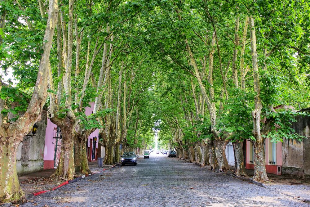 Авеню с платанами в Колония-дель-Сакраменто
