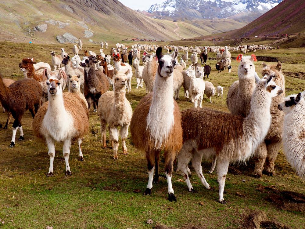 Ламы и Альпаки в Перу