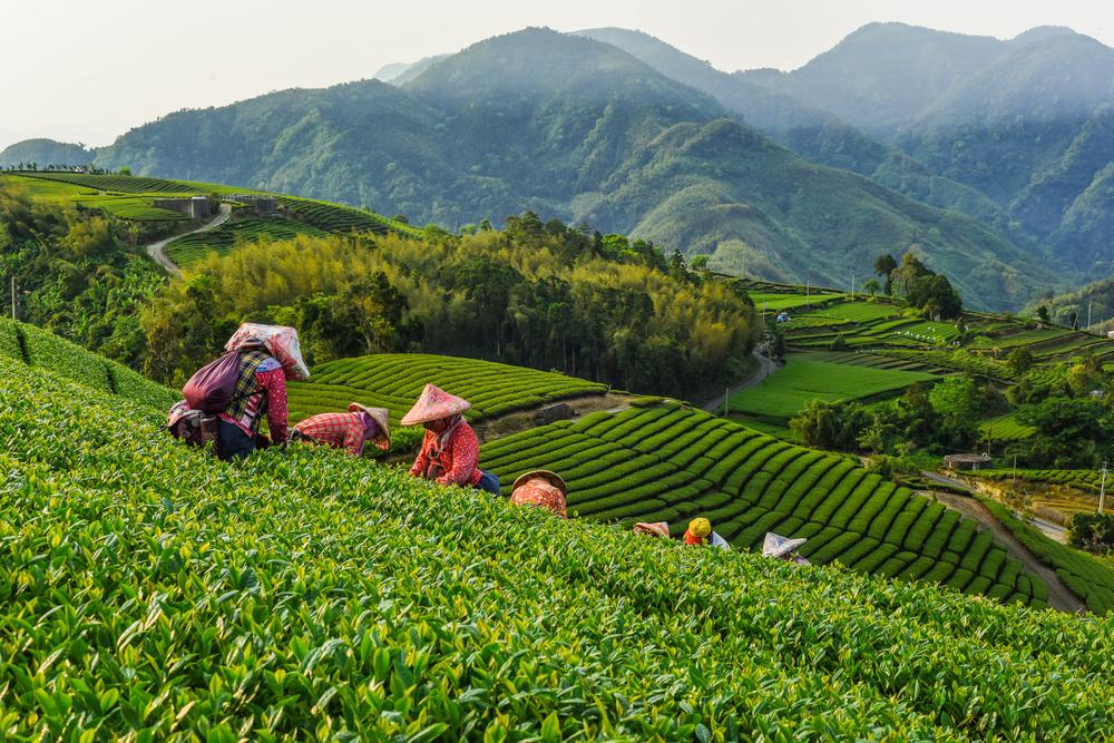 Плантации с молочным чаем на Тайване