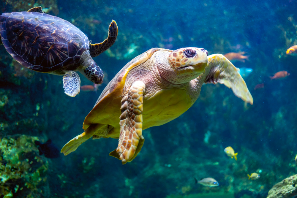Морские черепахи у берегов Гваделупы