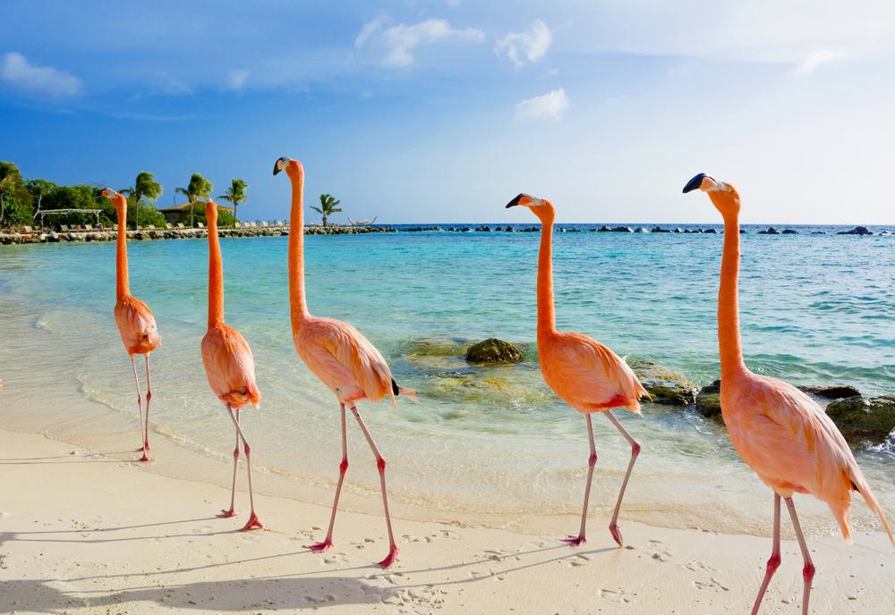 Розовые фламинго на Арубе