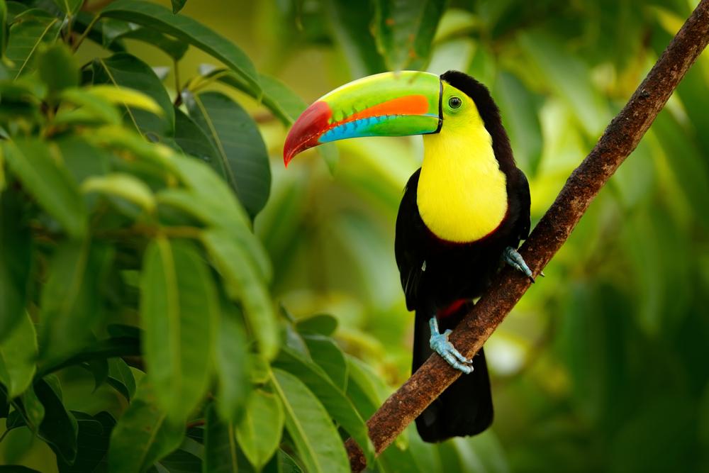 Тукан на Коста-Рике