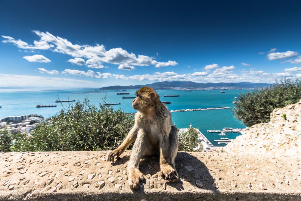 Берберская обезьяна