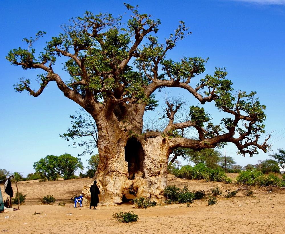 Сенегальский баобаб