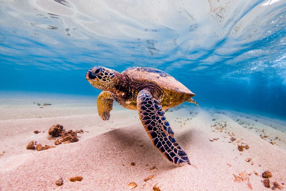 Гавайские зеленые морские черепахи