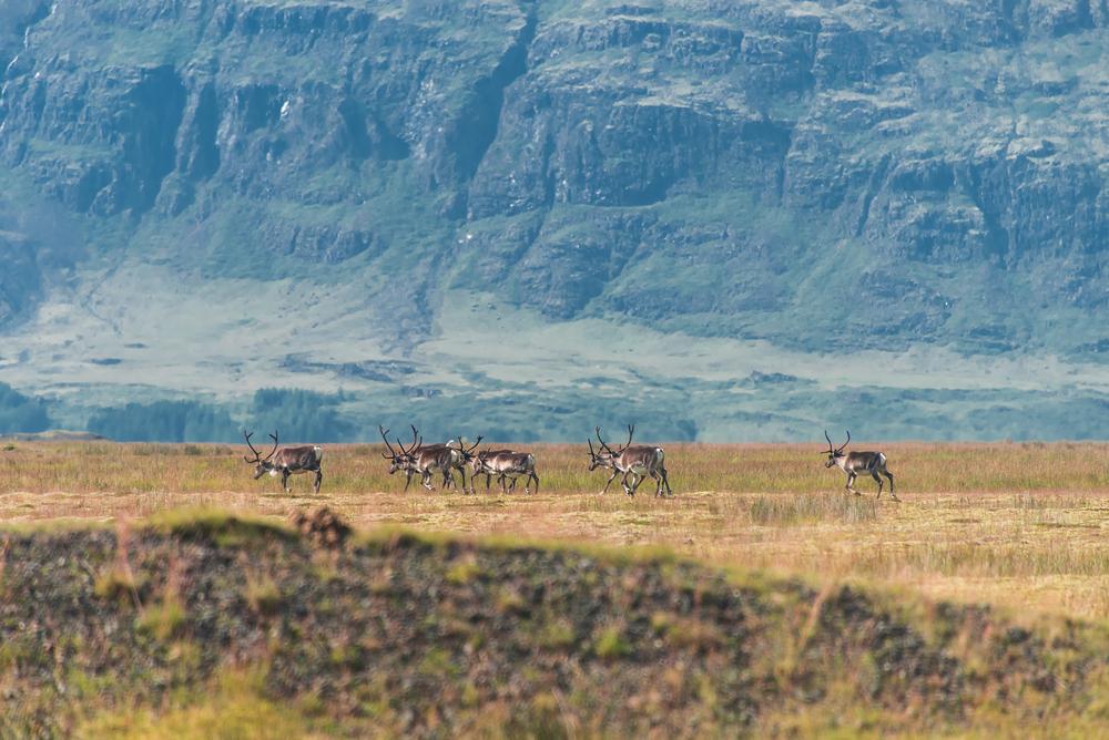 Дикие олени в Исландии