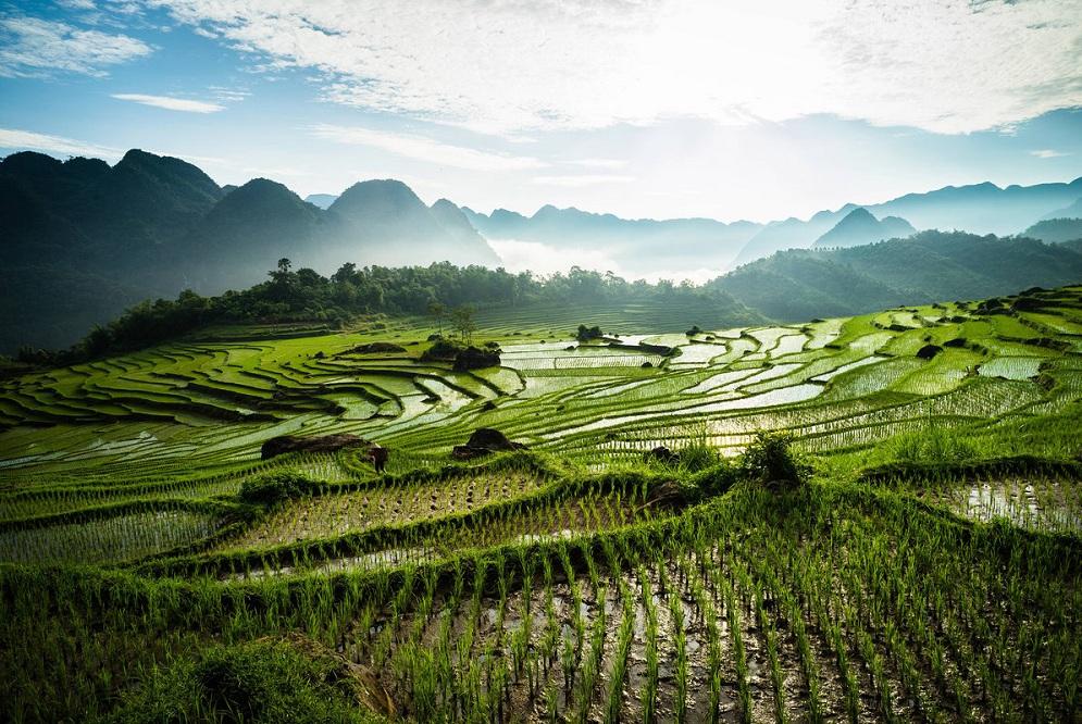 Рисовые плантации во Вьетнаме