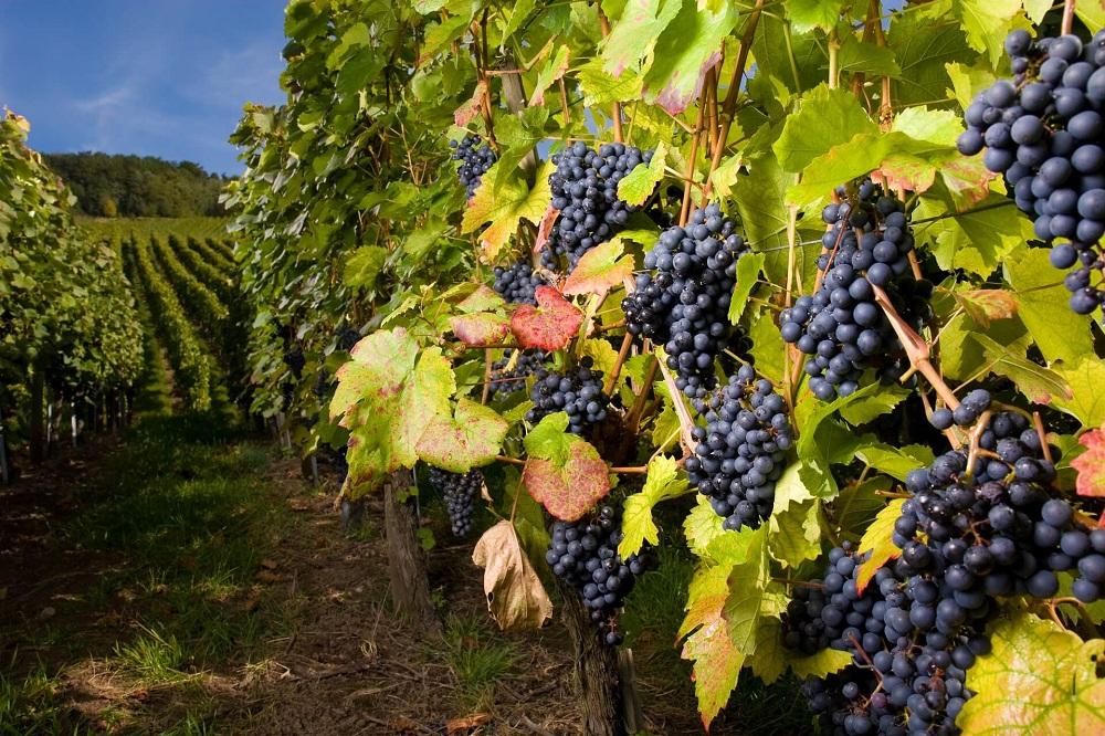 Винодельческое дело в Грузии